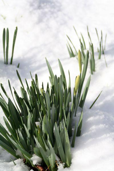 DaffodilsinSnow.3-09