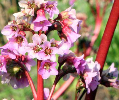 Purpleredflower.5-09