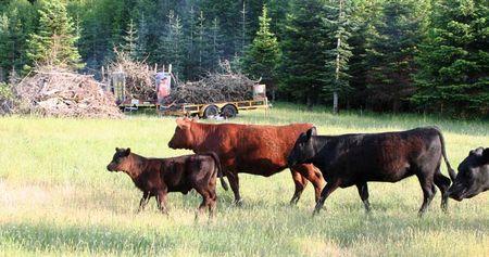 Cowslookingatben.6-09