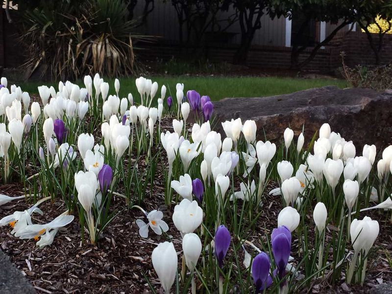 Whitepurplespringcrocusflow