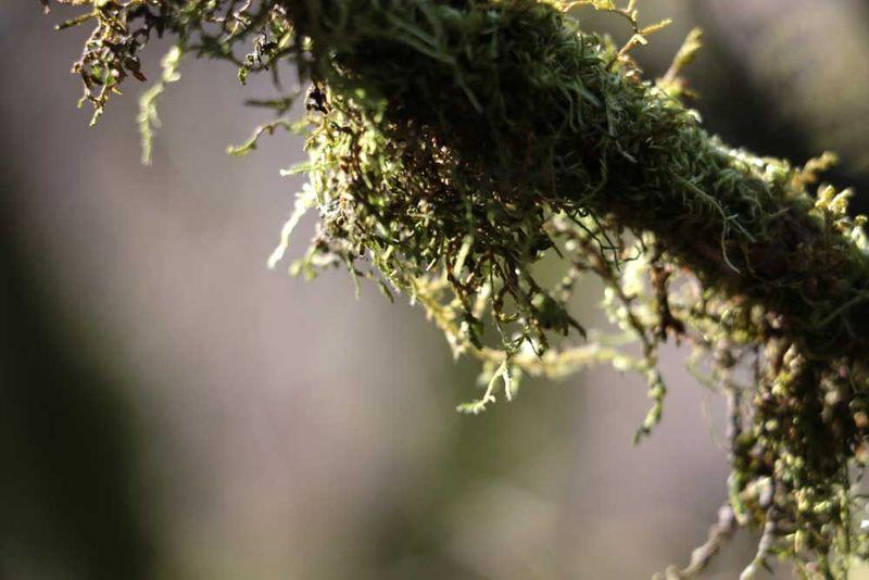 Mossybranch