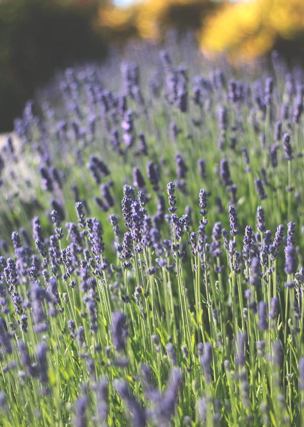 6-20-18-Lavender-3