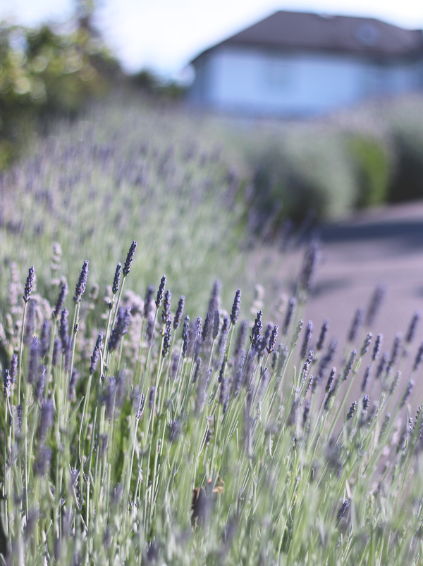 6-20-18-Lavender-4