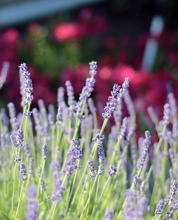 6-20-18-Lavender-2