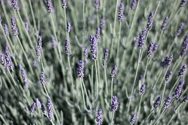 6-20-18-Lavender-1