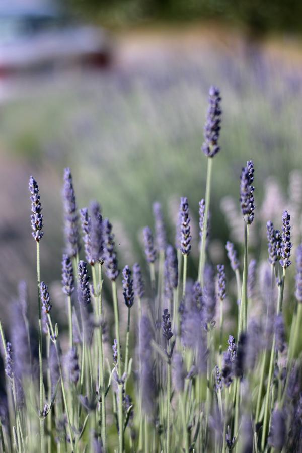 6-20-18-Lavender-5