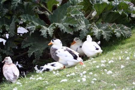Ducks_2